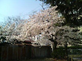 諏訪山公園の桜