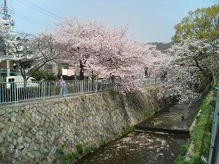 川面に垂れる桜