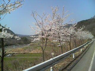 木曽路の桜