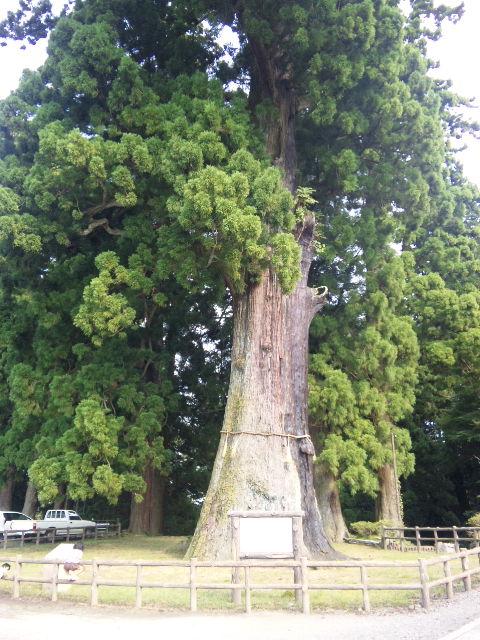 清澄の大杉