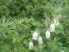ibuki_flower2